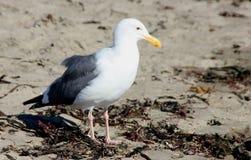 Kalifornia frajer wzdłuż Santa Cruz schronienia plaży, Kalifornia, Larus californicus Obraz Stock