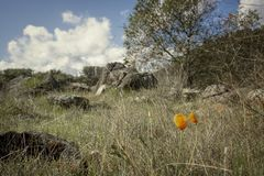 Kalifornia maczki w wczesnej wiośnie w Kalifornia wzgórzach zdjęcia royalty free