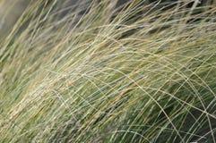 Kalifornia miejscowego trawy Zdjęcie Stock