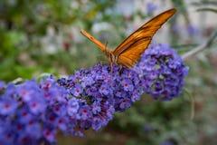 Kalifornia motyl na kwiatach 3 Zdjęcia Royalty Free