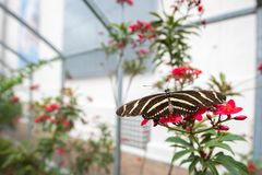 Kalifornia motyl na kwiatach 2 Fotografia Stock