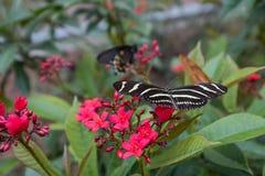 Kalifornia motyl na kwiatach 5 Fotografia Stock