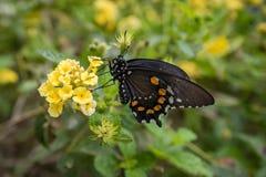 Kalifornia motyl na kwiatach 4 Zdjęcie Stock