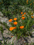 Kalifornia pomarańczowy maczek na ziemi Obrazy Royalty Free