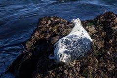 Kalifornia schronienia foka na skałach Zdjęcia Stock