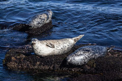 Kalifornia schronienia foki na skałach Fotografia Stock