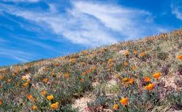 Kalifornia Złoci maczki w wysokiej pustyni południowy Kalifornia Zdjęcia Stock