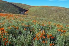 Kalifornia Złoci maczki w wysokiej pustyni południowy Kalifornia Zdjęcie Stock