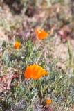 Kalifornia złoci maczki Obraz Royalty Free