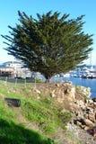 Kalifornien-Baum Lizenzfreies Stockbild
