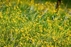 Kalifornien-Butterblume Ranunculus californicus Wildflowers auf einer Wiese, S?den San Francisco Bay, San Jose, Kalifornien stockfotos