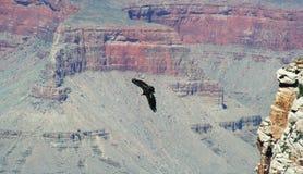 Kalifornien condor Royaltyfri Foto