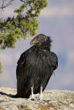 Kalifornien condor Fotografering för Bildbyråer