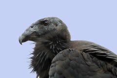 Kalifornien Condor Royaltyfri Fotografi