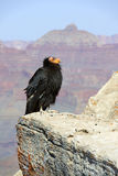 Kalifornien Condor på grand Canyonnationalparken Royaltyfria Foton