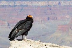 Kalifornien Condor på grand Canyonnationalparken Arkivbilder