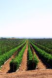 Kalifornien fields tomaten Arkivfoto