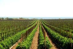 Kalifornien fields tomaten Arkivbilder