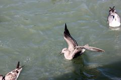Kalifornien fiskmås längs San Francisco Bay, Kalifornien, Laruscalifornicus Royaltyfri Foto