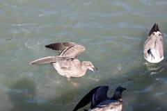 Kalifornien fiskmås längs San Francisco Bay, Kalifornien, Laruscalifornicus Royaltyfri Fotografi