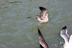 Kalifornien fiskmås längs San Francisco Bay, Kalifornien, Laruscalifornicus Fotografering för Bildbyråer