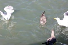 Kalifornien fiskmås längs San Francisco Bay, Kalifornien, Laruscalifornicus Arkivbilder