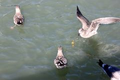 Kalifornien fiskmås längs San Francisco Bay, Kalifornien, Laruscalifornicus Arkivfoto