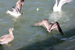Kalifornien fiskmås längs San Francisco Bay, Kalifornien, Laruscalifornicus Royaltyfria Bilder