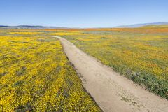 Kalifornien-Frühling Wildflowers-Superblüten-Spur lizenzfreie stockfotos