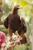 Kalifornien goldenes Eagle und Lenker Lizenzfreie Stockbilder