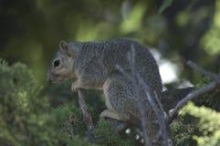 Kalifornien GraySquirrel håller ögonen på på en filial i evergreen sörjer trädet arkivbild