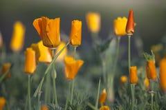 Kalifornien guld- vallmo. Royaltyfria Bilder
