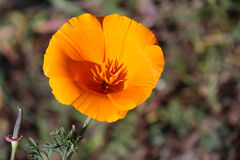 Kalifornien guld- vallmo, Kalifornien, USA Royaltyfri Fotografi
