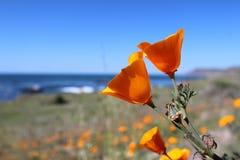 Kalifornien guld- vallmo, stora Sur, Kalifornien, USA Royaltyfri Bild