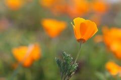 Kalifornien guld- vallmoblomma i fält Arkivfoton
