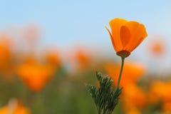 Kalifornien guld- vallmoblomma, slut upp Royaltyfria Bilder