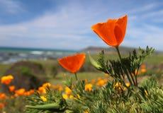 Kalifornien guld- vallmoblomma, stor Sur kust, Kalifornien Royaltyfri Foto