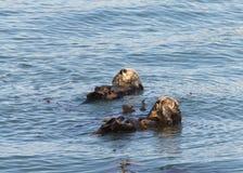 Kalifornien havsutter som ansar och spelar i grunt vatten Arkivbilder