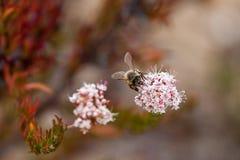 Kalifornien-Hummel, die Wildflower-Blütenstaub an am Laguna-Küsten-Wildnis-Park sammelt, Laguna Beach, Stockfotografie