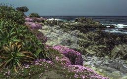 Kalifornien-Küstenblumen: Eis-Gänseblümchen u. Kaktus Lizenzfreie Stockfotos