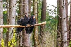 Kalifornien kondor Royaltyfri Fotografi