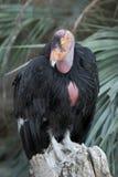 Kalifornien-Kondorabschluß oben Stockfotografie