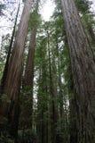 Kalifornien kustredwoodträd Arkivfoton