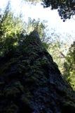 Kalifornien kustredwoodträd Arkivbild