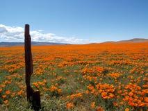Kalifornien landvallmo Arkivfoto