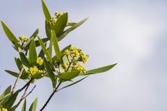 Kalifornien-Lorbeerbaum Umbellularia in der Blüte stockfotografie