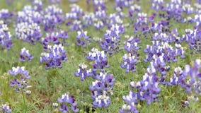 Kalifornien-Lupine-Blumen stock footage