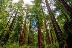 Kalifornien-Mammutbaum-Bäume Stockfotografie