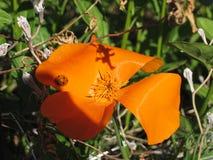 Kalifornien-Mohnblume stockfotografie