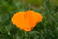 Kalifornien-Mohnblume Stockbilder